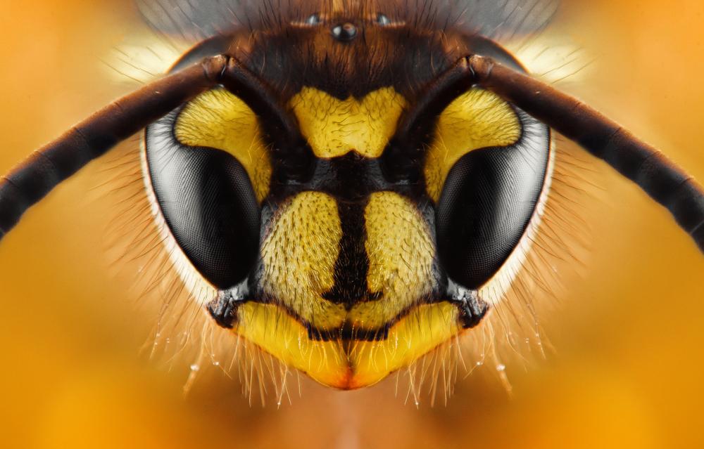 Wespe Insekt