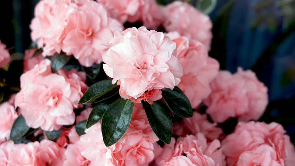 Rhododendron Topf