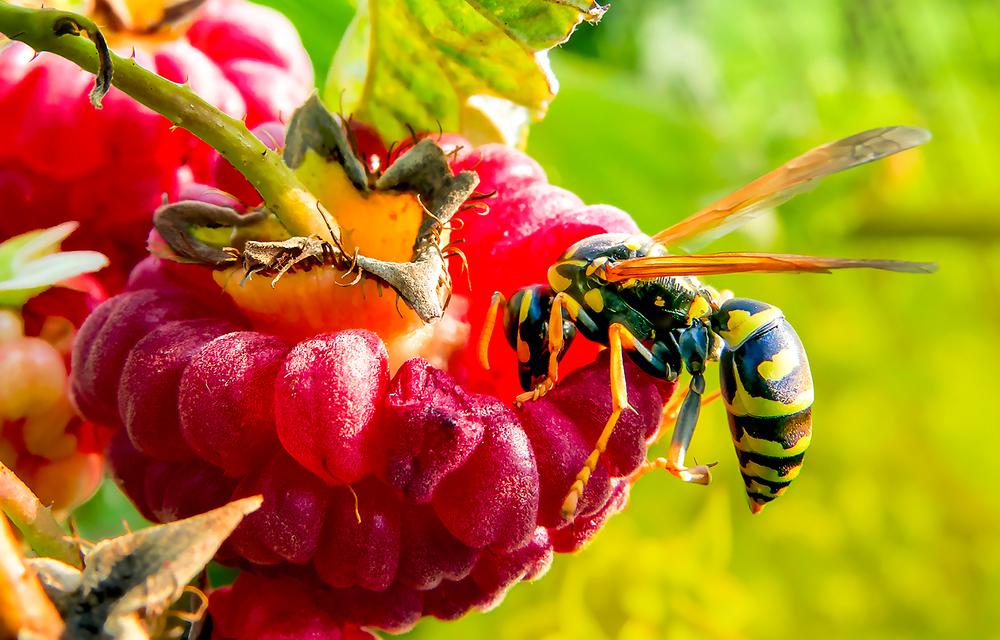 Wespe Insekt Frucht
