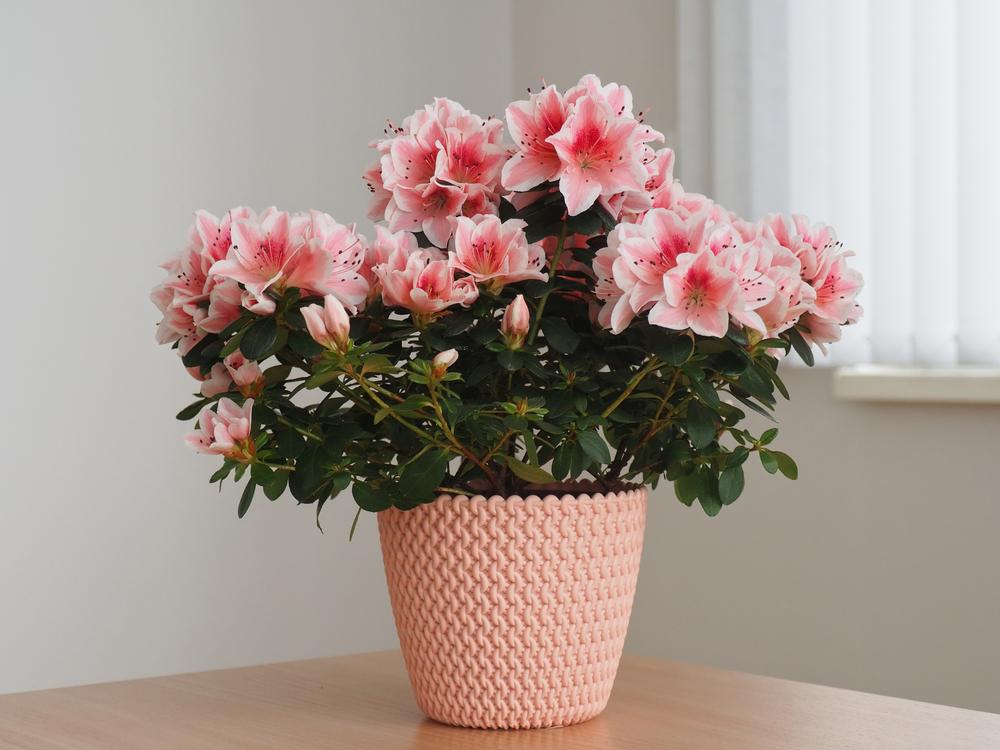 Topfpflanze Rhododendron